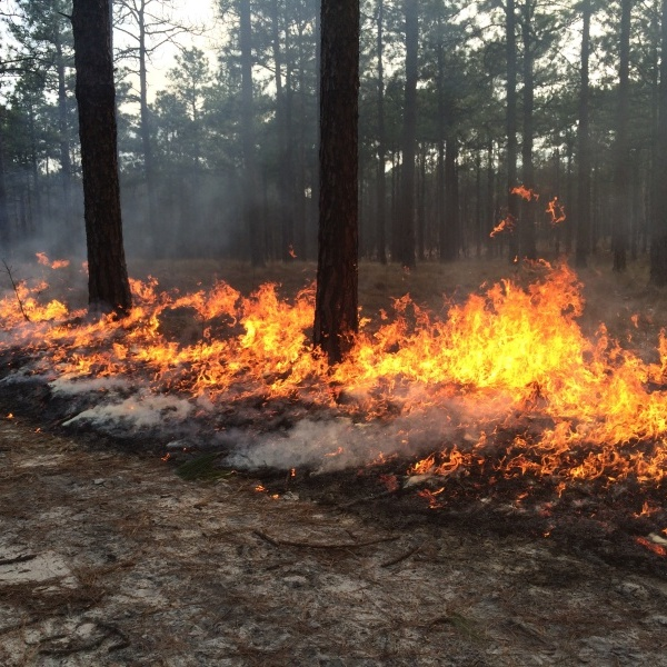 Controlled burn among the pines